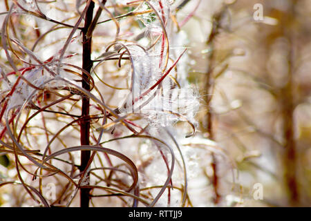 Rosebay Willowherb (epilobium angustifolium, also chamerion or chamaenerion angustifolium), a backlit close up of a flower stem bursting into seed. - Stock Image