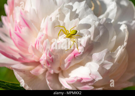Yellow crab spider (Thomisidae genus) on a white and pink Chrysanthemum in bloom, Essex - Stock Image