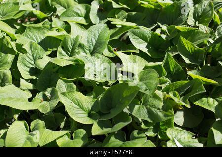 Phlomis russeliana - Turkish sage - at the Oregon Garden in Silverton, Oregon, USA. - Stock Image