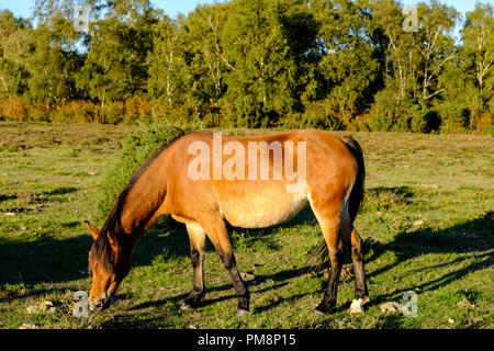 The New Forest pony is a recognised mountain and moorland , native pony breeds of the British Isles. Height varies from around 12 to 14.2 hands; ponie - Stock Image