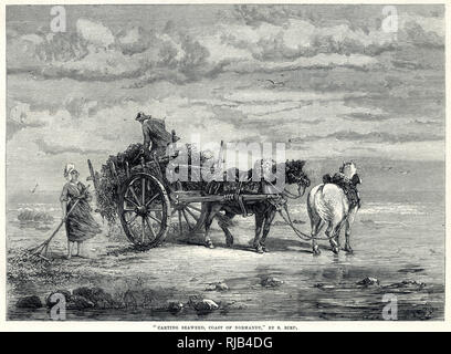 Seaweed or 'vraic',which it was locally called being raked and put on primitive-looking carts at the coast of Normandy. Seaweed was mainly employed for manure; was processed my chemical properties, iodine being one of its constituents and some used medicinally and even for food. - Stock Image