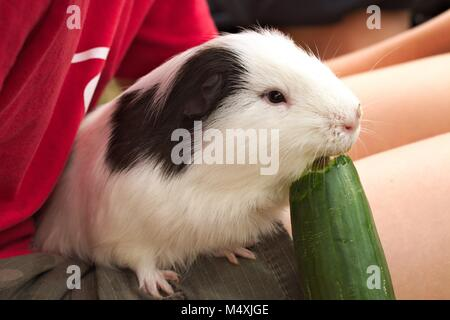 Black and white pet guinea pig sitting on a child's lap eating a large cucumber. - Stock Image