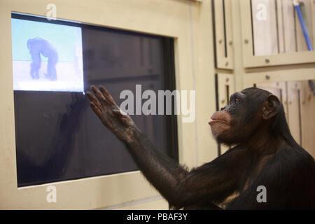 Chimpanzee (Pan troglodytes) in face recognition experiment, Tokyo University, Japan - Stock Image