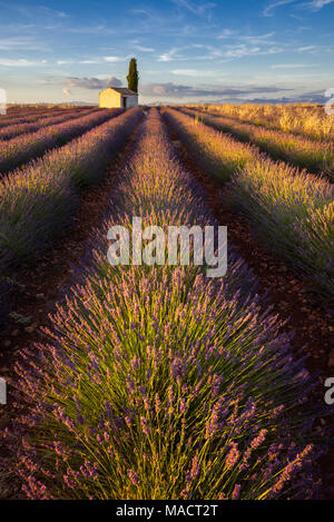 Lavender fields of Valensole with cypress tree and small house in Summer at sunset. Alpes de Haute Provence, France - Stock Image