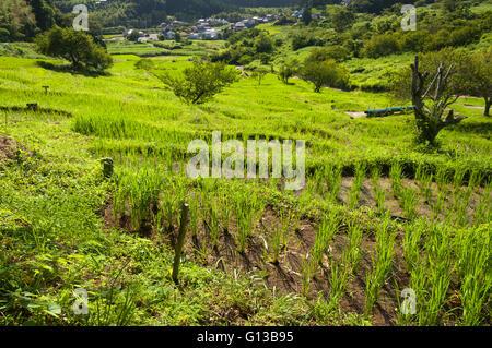 Terrace rice fields in Kikugawa, Japan - Stock Image