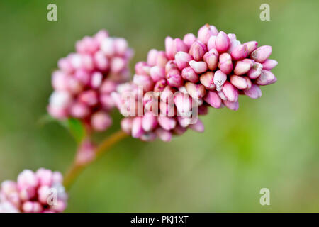 Redshank or Persicaria (polygonum persicaria), close up of a flowering stem with low depth of field. - Stock Image