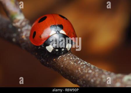 7-spot Ladybird (Coccinella septempunctata) perched on birch tree branch in December. Tipperary, Ireland - Stock Image