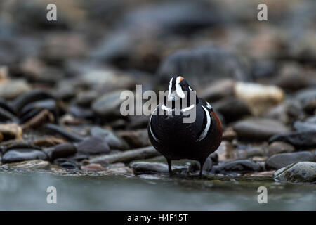 Harlequin duck, Denali National Park, Alaska - Stock Image