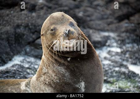 Bull Galapagos Sea Lion, Zalophus wollebaeki californianus, Otariidae, Cerro Brujo, San Cristobal Island, Galapagos - Stock Image