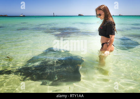 interacting with Sting Rays of Hamelin Bay, Western Australia - Stock Image