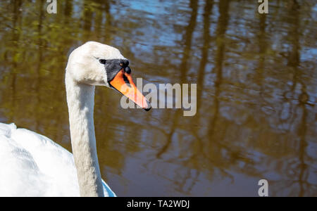 beautiful white swan swimming in a pond on sunny summer day closeup - Stock Image