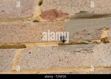 Structural damage (holes) in the mortar between the bricks in the wall of a house caused by the hairy-footed flower bee (Anthophora plumipes) nesting. - Stock Image