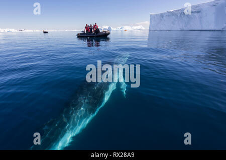 Zodiac passengers watch as a curious Minke Whale (Balaenoptera bonaerensis) prepares to surface while swimming in Curtis Bay, Antarctic Peninsula - Stock Image