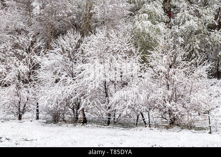 Trees outlined in fresh May 9th springtime snowstorm; Salida; Colorado; USA - Stock Image
