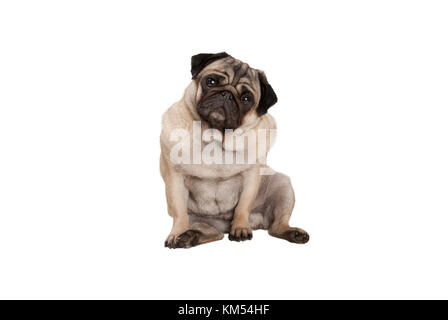 cute smart pug puppy dog with cheecky face, sitting down, isolated on white background - Stock Image