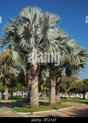 Brahea Armata (Mexican blue palm). La Batería park. Torremolinos, Málaga, Spain. - Stock Image