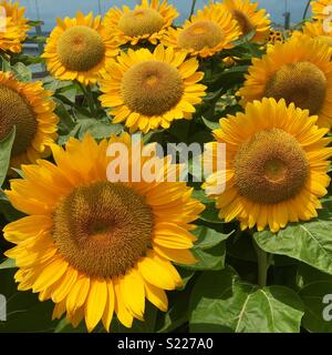 Sunflowers in bloom - Stock Image