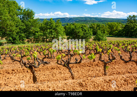 Production of rose, red and white wine in Luberon, Provence, South of France, landscape with vineyard on ochre soil in early summer - Stock Image