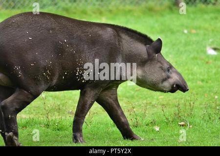 A tapir walking on some grass - Stock Image