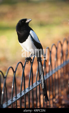 Common Magpie or Eurasian Magpie, (Pica pica), perched on railings in autumn, Regents Park, London, United Kingdom - Stock Image