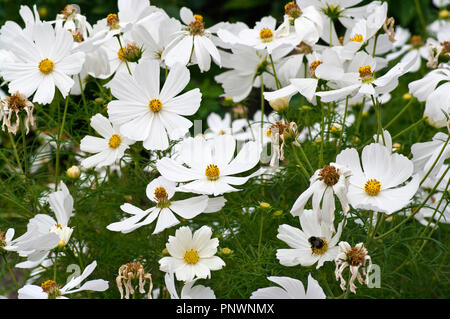 White cosmos flowers - Stock Image