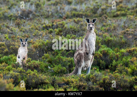 Kangaroos in coastal wetland in South Gippsland, Victoria, Australia - Stock Image