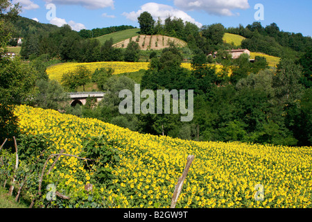 glorious fields of sunflowers in  the Sibillini National Park ,near Amandola,Le Marche,Italy - Stock Image