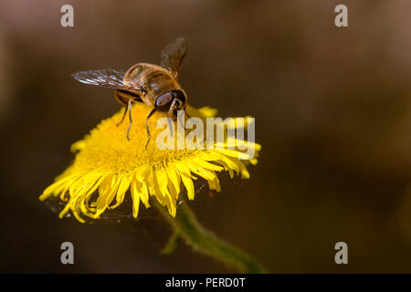Working bee looks for nectar over a yellow chamomile flower in spring. - Stock Image
