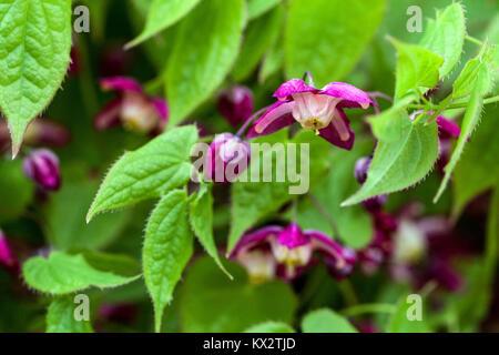Epimedium rubrum, Barrenwort - Stock Image