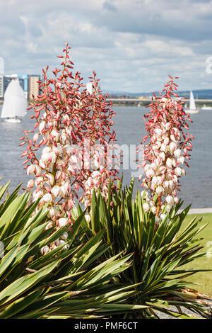 Yucca gloriosa 'Variegata' syn 'Aureovariegata' or variegated Spanish Dagger flowering outdoors in late summer. Cardiff Bay Glamorgan Wales UK - Stock Image