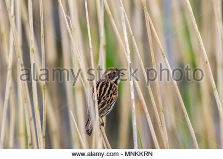 A female Reed Bunting clings to the stem of a reed in a wetland in Somerset, UK - Stock Image