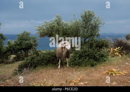 Male Greek Horned mountain sheep in his nature environment on the Mountains in the hills of Saronida, during early evening, East Attica, Greece. - Stock Image