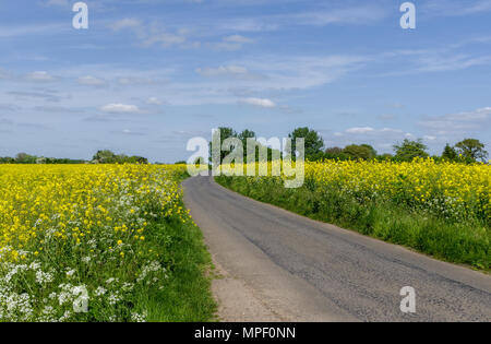 A country road flanked by yellow rapeseed fields under a blue sky; near Quinton, Northamptonshire, UK - Stock Image