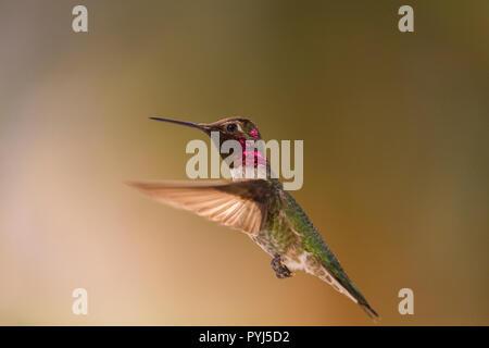 Anna's Hummingbird, Anza-Borrego Desert State Park, California. - Stock Image