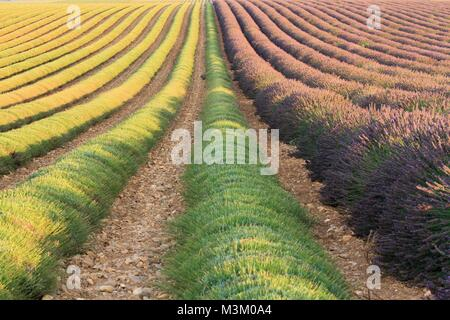 Lavender crop in Valensole, Provence, France - Stock Image