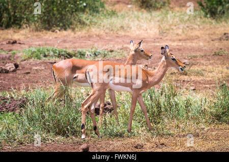 Two female Impala (Aepyceros melampus) grazing in Lake Manyara National Park, Tanzania, Africa - Stock Image