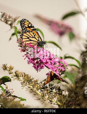 Monarch butterfly, Danaus plexippus, feeding on Butterfly bush flowers, Buddleja davidii or Buddleie during southern migration in October. Kansas,USA - Stock Image