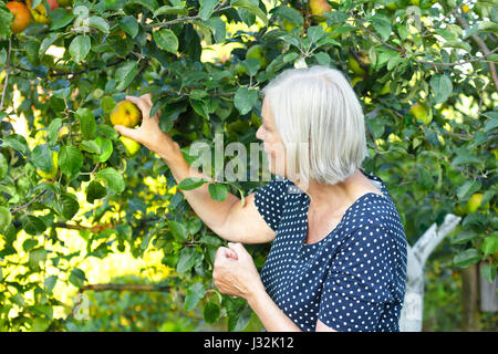 Older woman in a blue polka-dotted dress and a basket on her arm picking ripe apples of a tree in her garden yard, - Stock Image