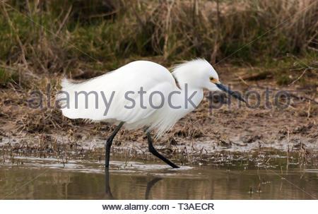Snowy Egret, Egretta thula, walking in shallow pond in Arizona USA - Stock Image