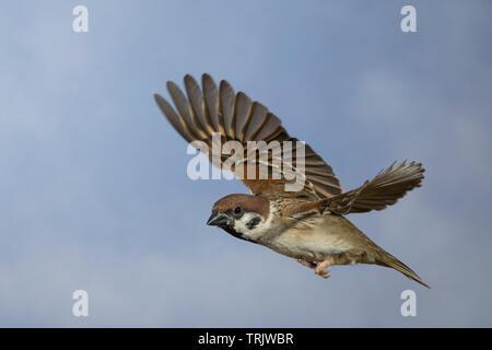 Feldspatz, Flug, fliegend, Flugbild, Feld-Spatz, Feldsperling, Feld-Sperling, Spatz, Spatzen, Sperling, Passer montanus, tree sparrow, flight, flying, - Stock Image