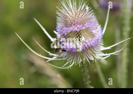 Bee on wild teasel. - Stock Image
