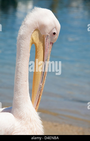 Petros, a great white pelican (Pelecanus onocrotalus), the mascot of Mykonos, on the beach - Stock Image