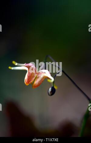 epimedium wildside amber, orange, flower, flowers, flowering, woodland, perennials, barrenwort, shade, spring, shady, shaded, RM Floral - Stock Image