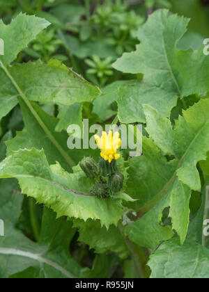 Flowering tops of Smooth Sow-thistle / Sonchus oleraceus - the leaves of which are an edible foraged wild green. Foraging & dining on the wild concept - Stock Image