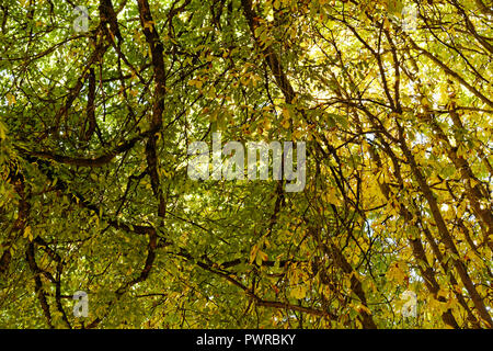 View from below of tangled branches and fall foliage of mature deciduous trees - Stock Image