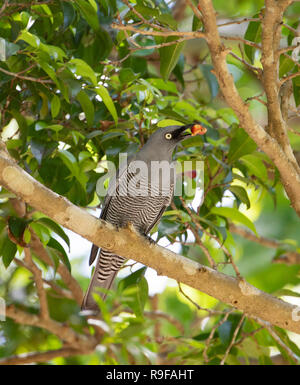 Barred Cuckooshrike (Coracina lineata) feeding on a fig tree, Lake Tinaroo, Atherton Tableland,  Far North Queensland, FNQ, QLD, Australia - Stock Image