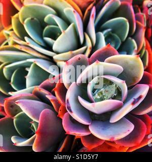 Succulent plants - Stock Image