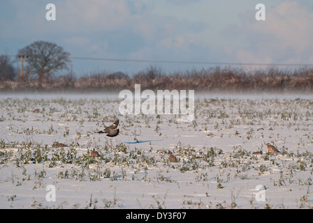 A group of Wood-pigeons (Columba palumbus) feeding on field of snow-covered oilseed rape in Britain - Stock Image
