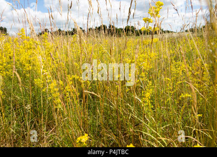 Lady's bedstraw, Galium verum, yellow flowers in summer growing at Sutton, Suffolk, England, UK - Stock Image