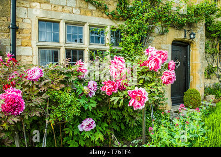 Large pretty peony flowers in the front garden of a stone cottage in Stanton in the Cotswolds in early May - Stock Image